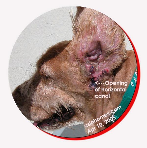 Photo Of Bulldog Dog Ear Canal