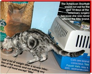 Pyometra in the American Shorthair and severe weight loss. Toa Payoh Vets, Singapore