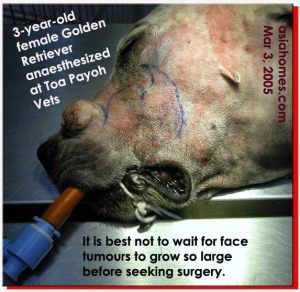 3-year-old Golden Retriever. Large face tumour. Toa Payoh Vets, Singapore