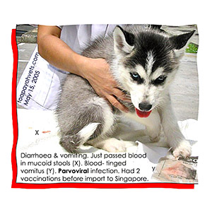 Siberian Husky imported with 2 vaccinations tested positive for parvoviral infection. Will it survive?