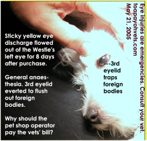 3rd eyelid traps foreign bodies like hair or dirt. Persistent yellow eye discharge in Westie puppy. Toa Payoh Vets