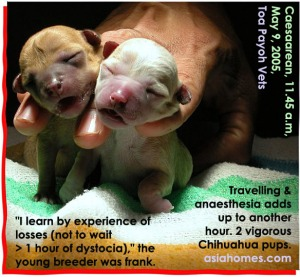 Chihuahua dystocias. Don't wait >2 hours to start Caesarean. Toa Payoh Vets