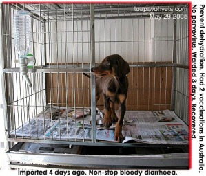 Buyer referred profuse diarrhoea Doberman Pinscher to pet shop. Asked to see vet promptly.