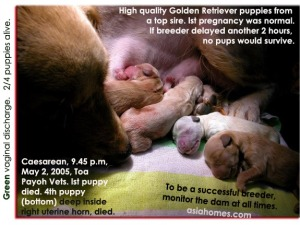 2/4 top quality Golden Retrievers puppies saved. Caesarean delivery. Toa Payoh Vets, Singapore.
