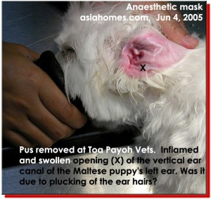 Maltese puppy. Painful and swollen ear canal after hair plucking by a groomer. asiahomes.com
