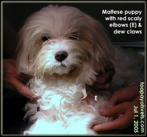 Maltese puppy - itchy elbows and dew claws. Consult vet early. Toa Payoh Vets