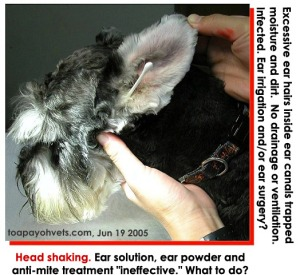 Excessive ear hairs clog up ear canal - inflamed - head shaking - Toa Payoh Vets