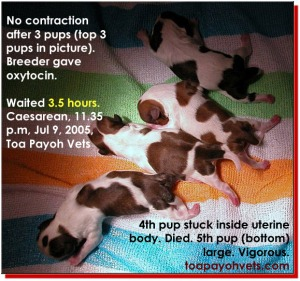 2 hours of difficult birth - emergency Caesarean. This is a guideline only. Toa Payo Vets