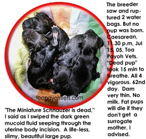 4 beautiful fat pups will die if the breeder cannot find a surrogate mother with milk.  Toa Payoh Vets.