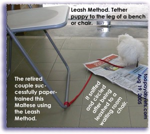 Successfully paper-trained using the leash method. Maltese pooing when picture taken. Toa Payoh Vets.