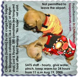 Hypothermia in 6-month-old Chihuahua air cargo Saigon - Munich via Singapore. Toa Payoh Vets
