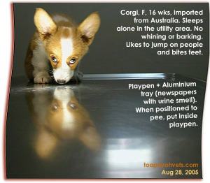 Sleep alone quietly at night. Corgi had been trained by Australian breeder. Toa Payoh Vets