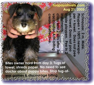 Feed control and firmness needed to control nipping by new Schnauzer. Toa Payoh Vets.