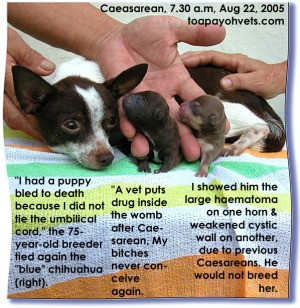 2 vigorous pups. Chihuahua's uterine walls extremely thin and fragile.  Caesarean. Toa Payoh Vets.