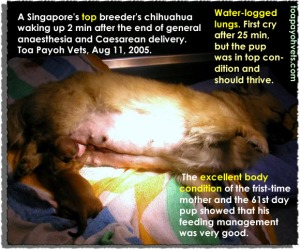 As the chihuahua was in top body condition, it was vigorous and should thrive even though it cried after 25 minutes. Toa Payoh Vets, Singapore.