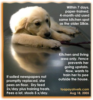 Golden Retriever Puppy uses same toilet area but does not tolerate soiled wet newspapers a bit. Toa Payoh Vets