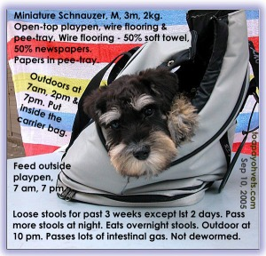 Indoor and outdoor toilet-training. Upset gut. Miniature Schnauzer puppy. Toa Payoh Vets