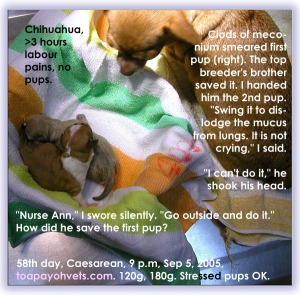 Any further delay would have killed Chihuahua pups. Toa Payoh Vets.