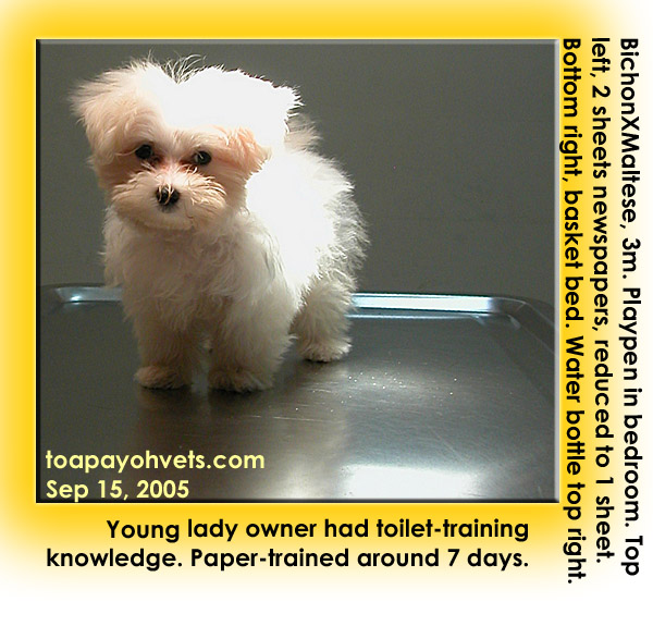 Paper training a maltese puppy