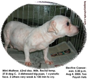 3 large mini-Maltese pups but they were weak and distressed. 1 cyanotic died. 2 weak. Toa Payoh Vets.